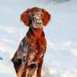 Puppy of Irish Setter in snow — Stock Photo