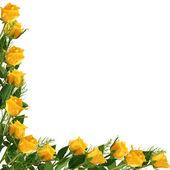 белая рамка с желтой розы — Стоковое фото