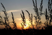 Grass silhouette — Stock Photo