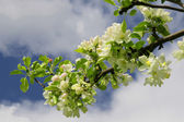 Colour of an apple-tree — Stock Photo