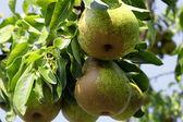 Green pear — Stock Photo