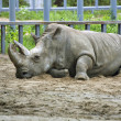 Rhinoceros on sand in the zoo — Stock Photo