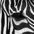 Royalty-Free Stock Photo: Zebra Face