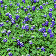 Bluebonnet background - 图库照片