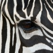 Zebra Face - Stock Photo