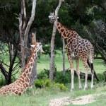 ������, ������: Giraffes