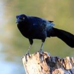 Black Bird on a Tree Stump — Stock Photo #1386980