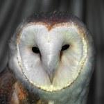 White Barn Owl — Stock Photo