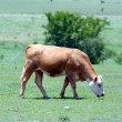 A Tan Cow Grazing - Stock Photo