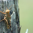 Grasshopper on a Cedar Post - Stock Photo
