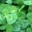 Green clover patch — Stock Photo
