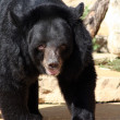 Black Bear — Photo #1388172