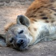Royalty-Free Stock Photo: Tired Hyena