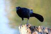 Black Bird on a Tree Stump — Stock Photo
