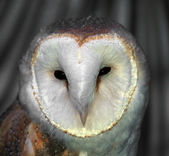 White Barn Owl — Stock Photo
