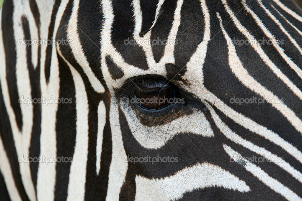A zebra face up close.  Makes a nice background.  Stock Photo #1386549