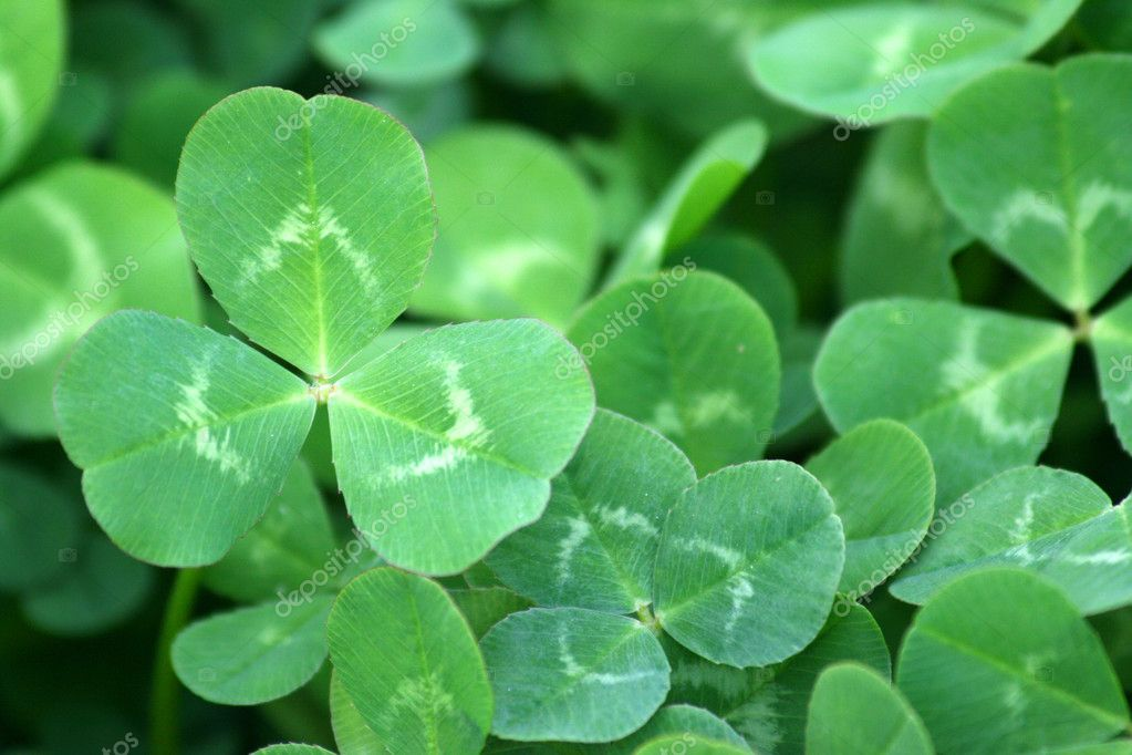 A background of a green clover patch close-up — Stock Photo #1387787