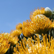 Stock Photo: Into Sky (Leucospermum cuneiforme)