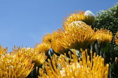 Into The Sky (Leucospermum cuneiforme) — Stock Photo