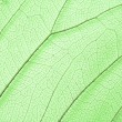 Stock Photo: Green skeleton leaf structure