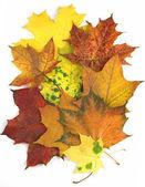 Maple leaves carpet — Stock Photo