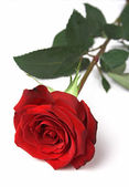 Red rose, front view — Stock Photo