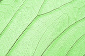Green skeleton leaf structure — Stock Photo