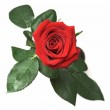 Dew covered rose — Stock Photo #1417613