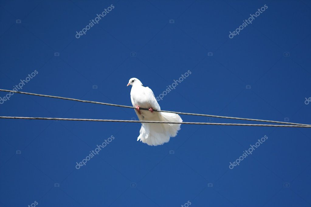 White dove sitting on a rope against a blue sky. — Stock Photo #1421738