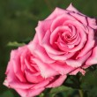 Two pink roses - Stock Photo