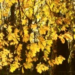 Chestnut tree autumn background — Stock Photo