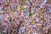 Sakura in bloom — Stock Photo
