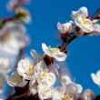 Apricot branch in bloom — Stock Photo