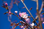 Almond in bloom — Stock Photo