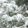 Royalty-Free Stock Photo: Snow falling on branch of pine tree.