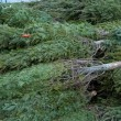 Stock Photo: Cut Christmas Trees