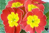 Primula rossa — Foto Stock