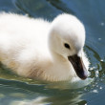 Baby swan — Stock Photo #1406707