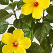 Yellow Hibiscus — Stock Photo