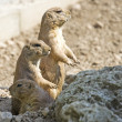 Prairie dog — Stock Photo #1452520