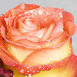 Stock Photo: Wet rosebud