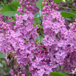 Flowers of a lilac — Stock Photo