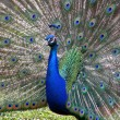 Stock Photo: Peacock with feathers of tail