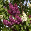 Stock Photo: Flowers of a lilac