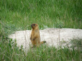 Steppe marmot — Stock Photo