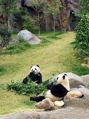 Pandas — Stock Photo