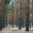 Coniferous forest landscape — Stock Photo