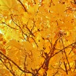 A yellow crone of a maple — Stock Photo