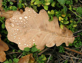Oak sheet covered with dew drops — Stock Photo