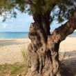 Lonely old tree on the shore of the sea — Stock Photo